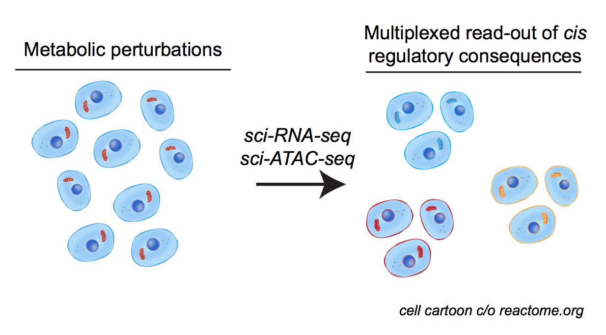 *dissecting the circuitry connecting cellular metabolism and chromatin through single-cell sequencing*